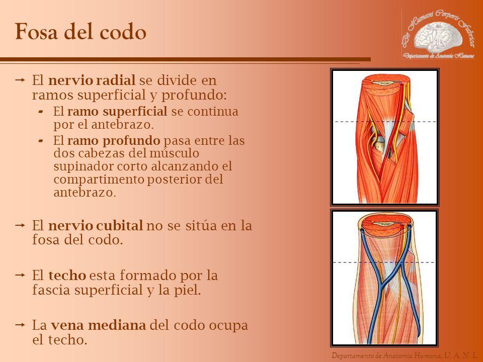 Departamento de Anatomía Humana, U. A. N. L. Fosa del codo El nervio radial se divide en ramos superficial y profundo: - El ramo superficial se contin