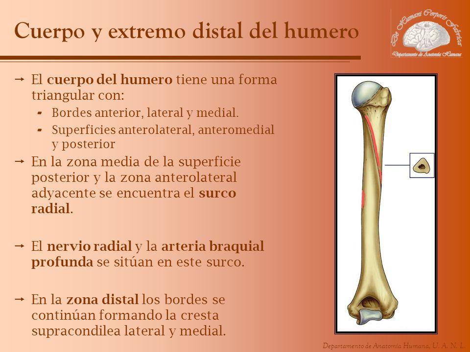 Departamento de Anatomía Humana, U. A. N. L. Cuerpo y extremo distal del humero El cuerpo del humero tiene una forma triangular con: - Bordes anterior