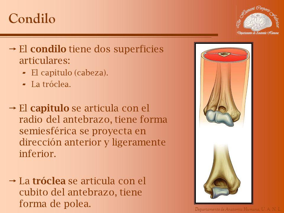 Departamento de Anatomía Humana, U. A. N. L. Condilo El condilo tiene dos superficies articulares: - El capitulo (cabeza). - La tróclea. El capitulo s