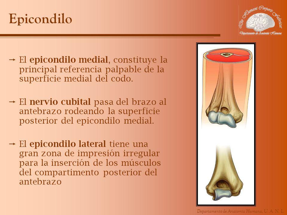 Departamento de Anatomía Humana, U. A. N. L. Epicondilo El epicondilo medial, constituye la principal referencia palpable de la superficie medial del