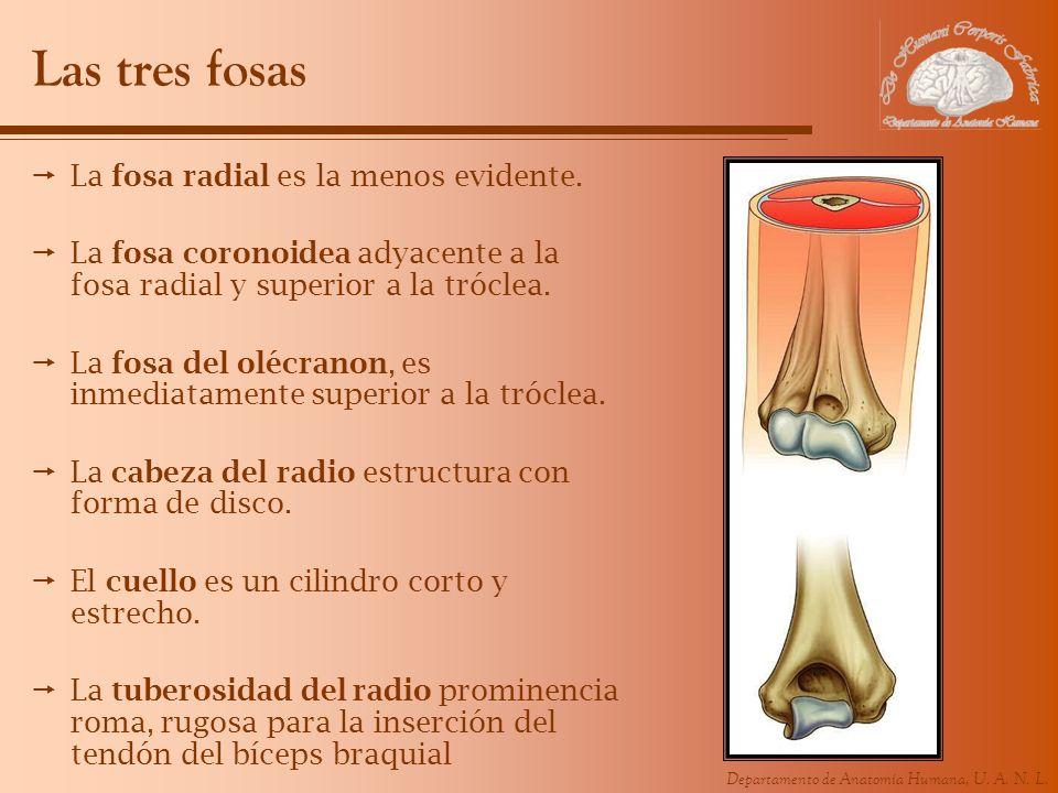 Departamento de Anatomía Humana, U. A. N. L. Las tres fosas La fosa radial es la menos evidente. La fosa coronoidea adyacente a la fosa radial y super