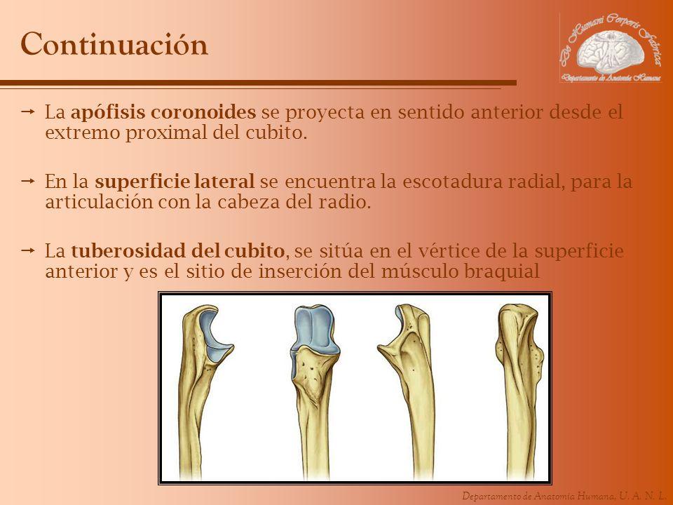 Departamento de Anatomía Humana, U. A. N. L. Continuación La apófisis coronoides se proyecta en sentido anterior desde el extremo proximal del cubito.