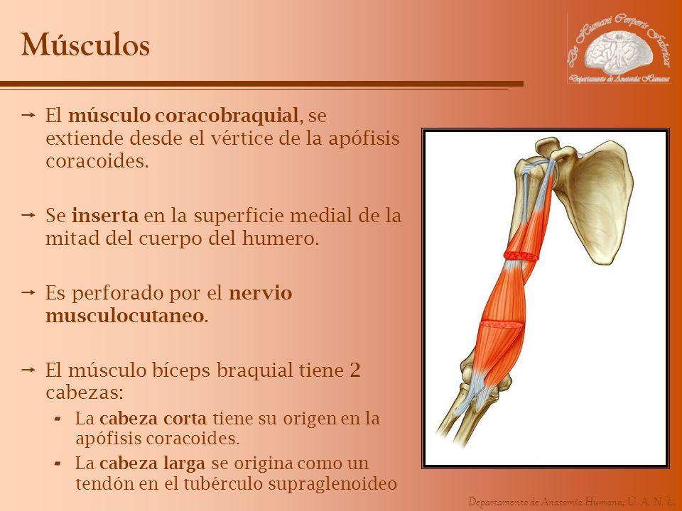 Departamento de Anatomía Humana, U. A. N. L. Músculos El músculo coracobraquial, se extiende desde el vértice de la apófisis coracoides. Se inserta en