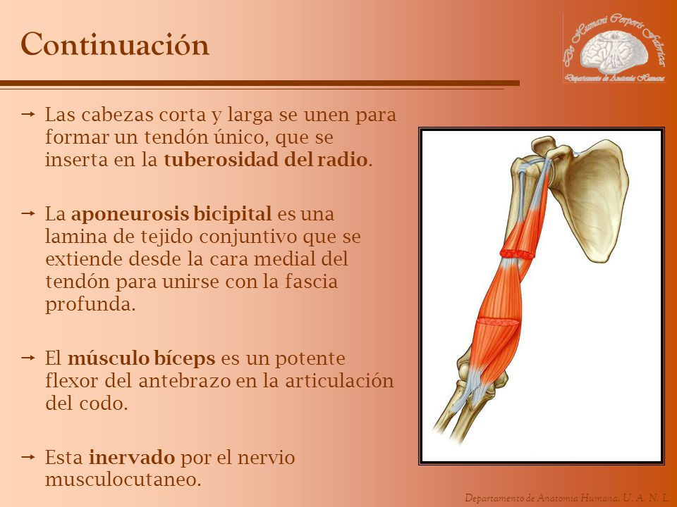 Departamento de Anatomía Humana, U. A. N. L. Continuación Las cabezas corta y larga se unen para formar un tendón único, que se inserta en la tuberosi
