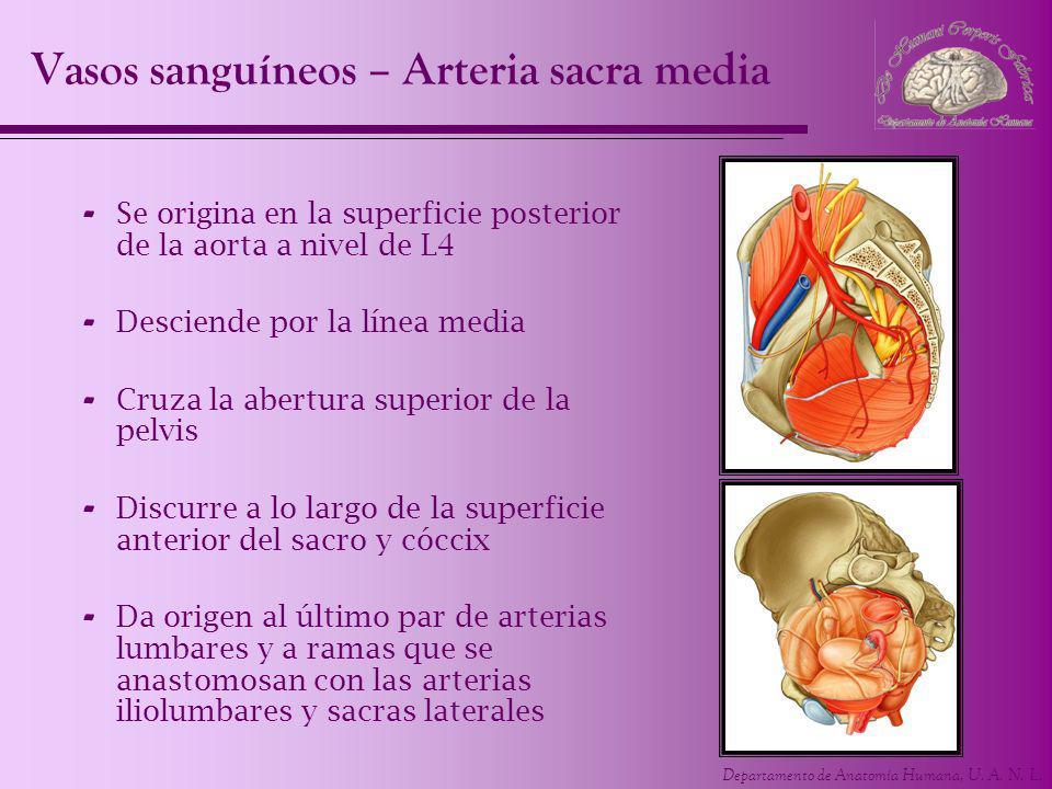 Departamento de Anatomía Humana, U. A. N. L. - Se origina en la superficie posterior de la aorta a nivel de L4 - Desciende por la línea media - Cruza