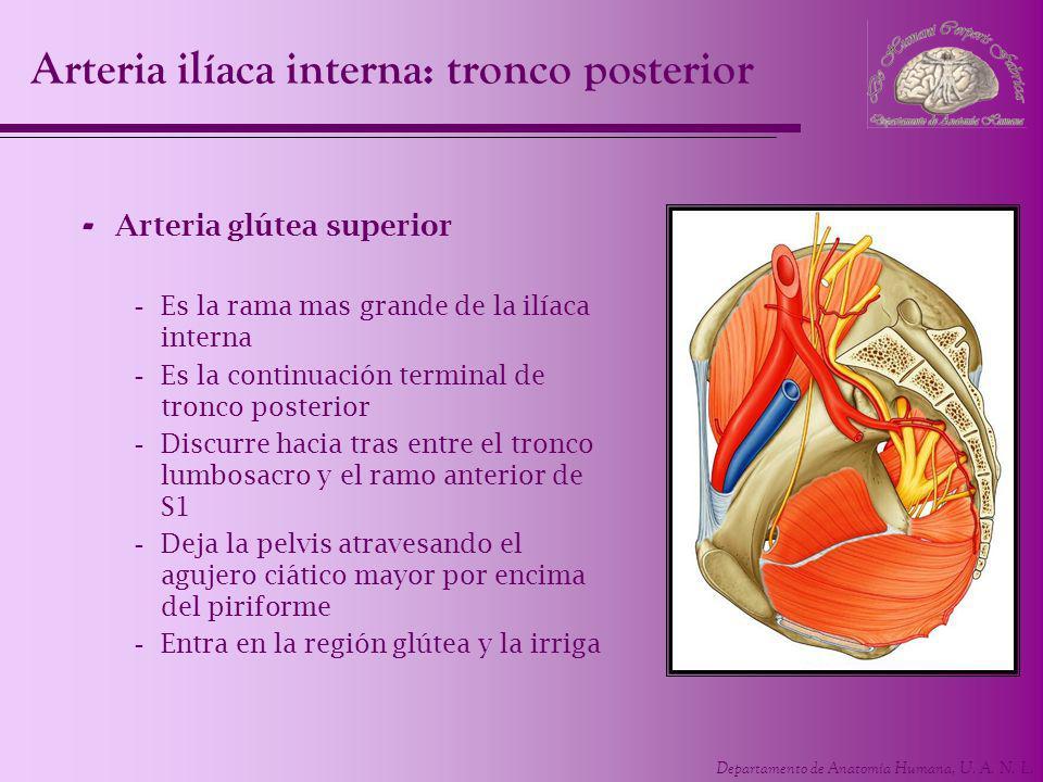 Departamento de Anatomía Humana, U. A. N. L. - Arteria glútea superior -Es la rama mas grande de la ilíaca interna -Es la continuación terminal de tro