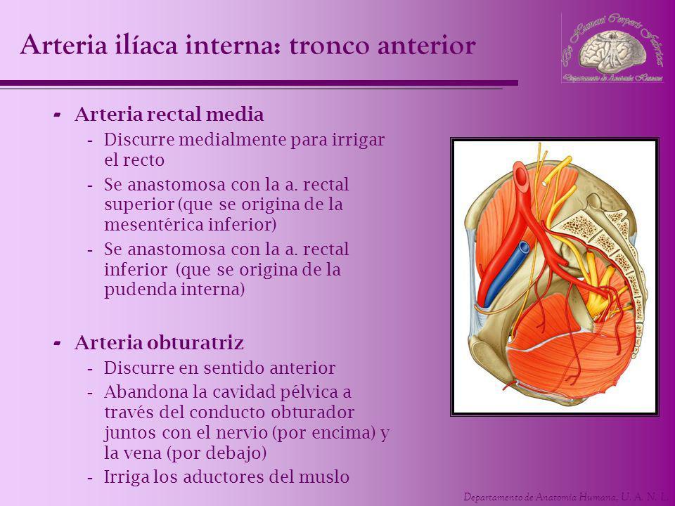 Departamento de Anatomía Humana, U. A. N. L. - Arteria rectal media -Discurre medialmente para irrigar el recto -Se anastomosa con la a. rectal superi