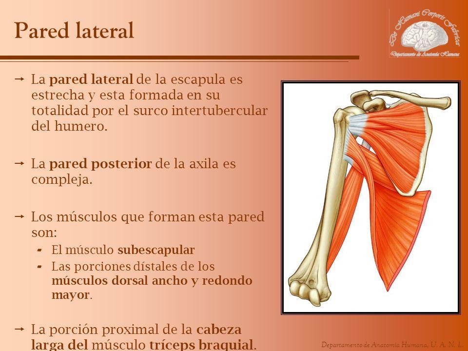 Departamento de Anatomía Humana, U. A. N. L. Pared lateral La pared lateral de la escapula es estrecha y esta formada en su totalidad por el surco int