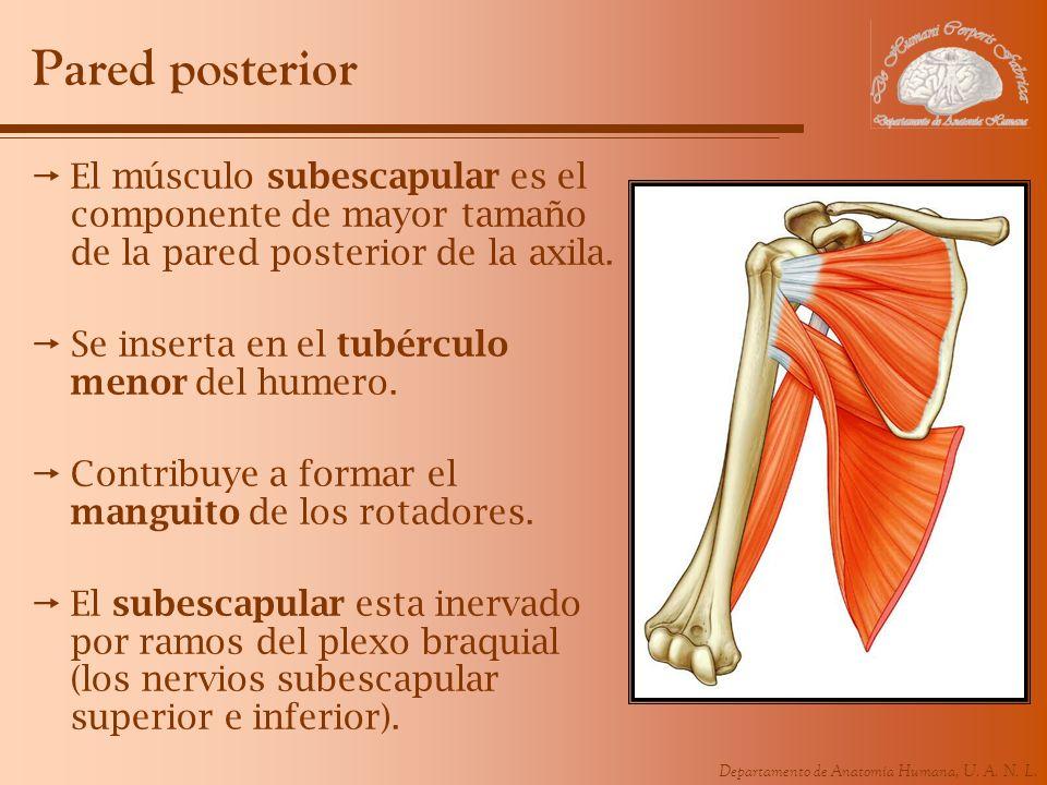 Departamento de Anatomía Humana, U. A. N. L. Pared posterior El músculo subescapular es el componente de mayor tamaño de la pared posterior de la axil
