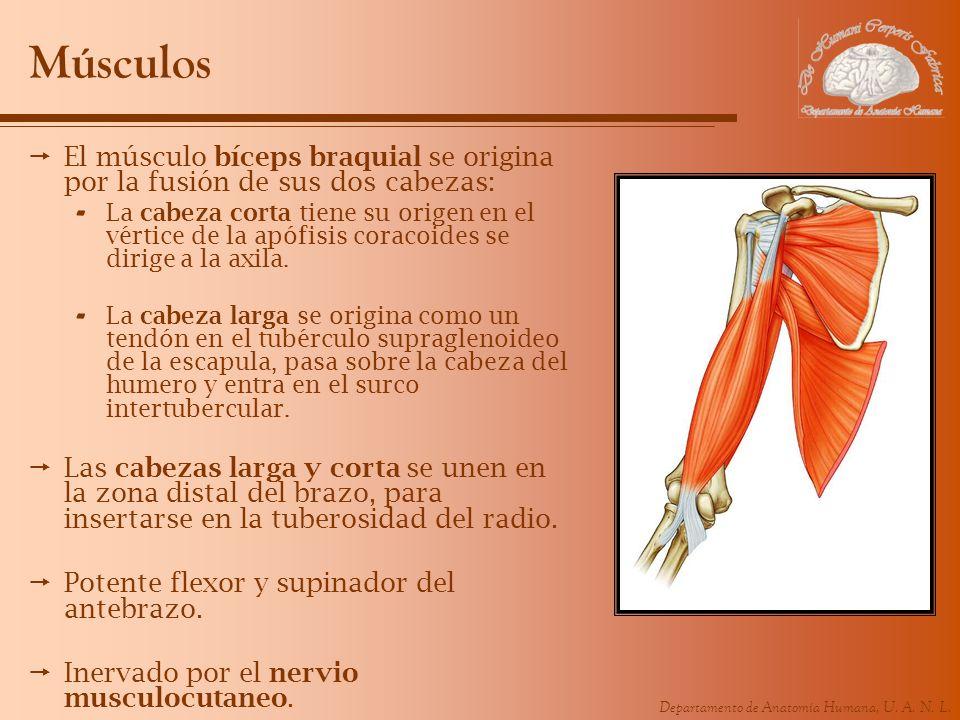 Departamento de Anatomía Humana, U. A. N. L. Músculos El músculo bíceps braquial se origina por la fusión de sus dos cabezas: - La cabeza corta tiene