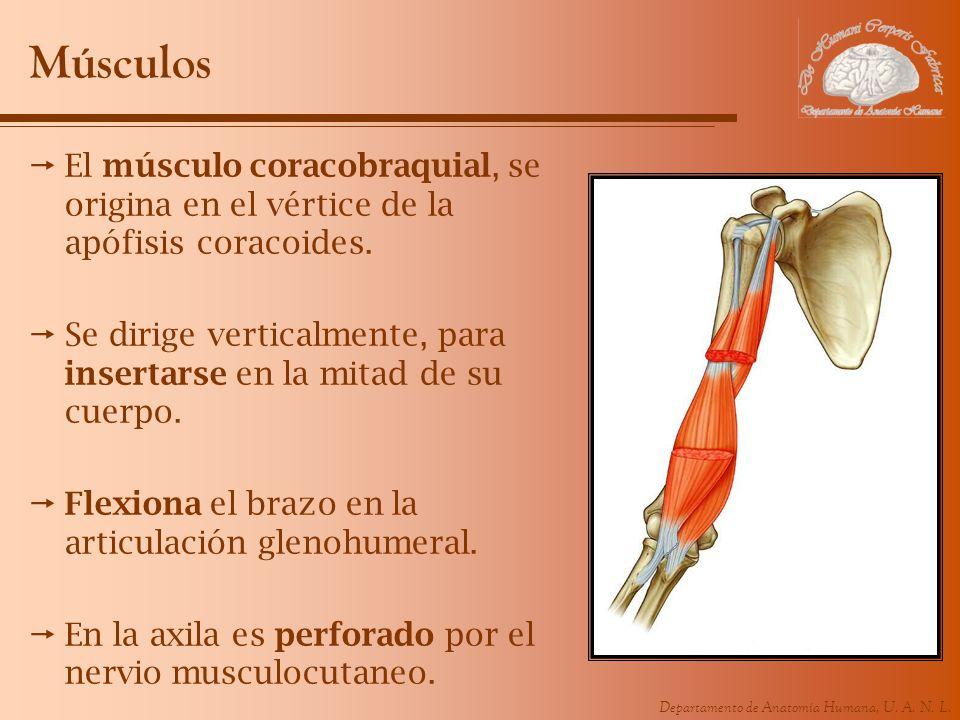 Departamento de Anatomía Humana, U. A. N. L. Músculos El músculo coracobraquial, se origina en el vértice de la apófisis coracoides. Se dirige vertica
