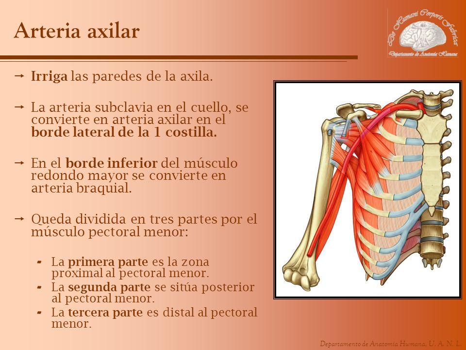 Departamento de Anatomía Humana, U. A. N. L. Arteria axilar Irriga las paredes de la axila. La arteria subclavia en el cuello, se convierte en arteria