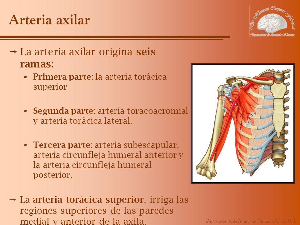 Departamento de Anatomía Humana, U. A. N. L. Arteria axilar La arteria axilar origina seis ramas: - Primera parte: la arteria torácica superior - Segu