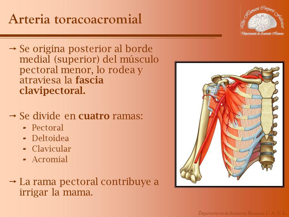 Departamento de Anatomía Humana, U. A. N. L. Arteria toracoacromial Se origina posterior al borde medial (superior) del músculo pectoral menor, lo rod