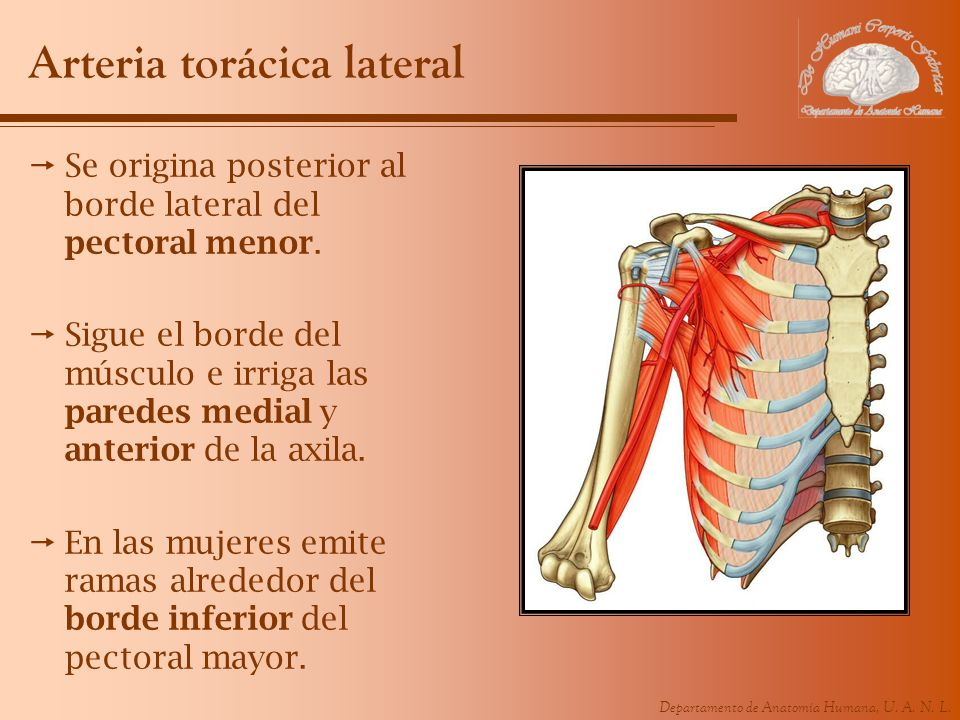Departamento de Anatomía Humana, U. A. N. L. Arteria torácica lateral Se origina posterior al borde lateral del pectoral menor. Sigue el borde del mús