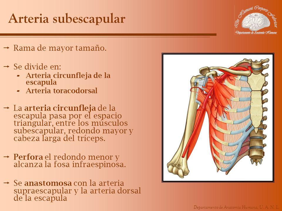 Departamento de Anatomía Humana, U. A. N. L. Arteria subescapular Rama de mayor tamaño. Se divide en: - Arteria circunfleja de la escapula - Arteria t