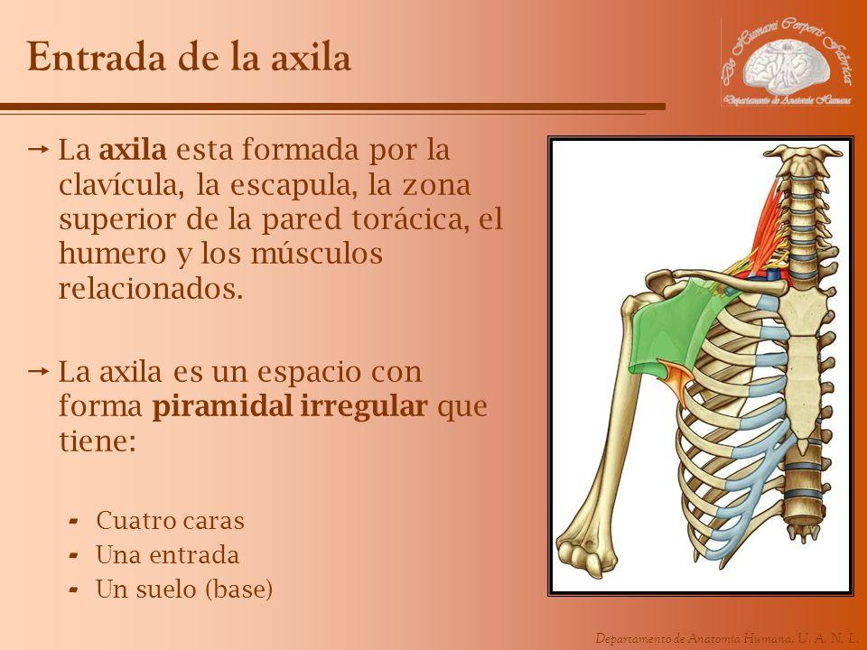 Departamento de Anatomía Humana, U. A. N. L. Entrada de la axila La axila esta formada por la clavícula, la escapula, la zona superior de la pared tor