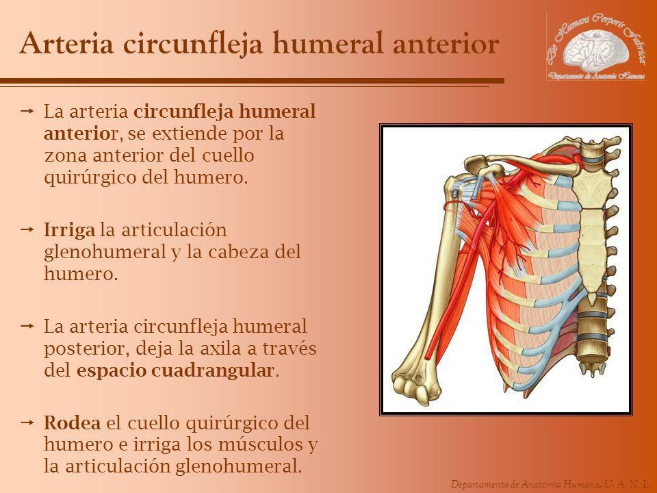 Departamento de Anatomía Humana, U. A. N. L. Arteria circunfleja humeral anterior La arteria circunfleja humeral anterior, se extiende por la zona ant