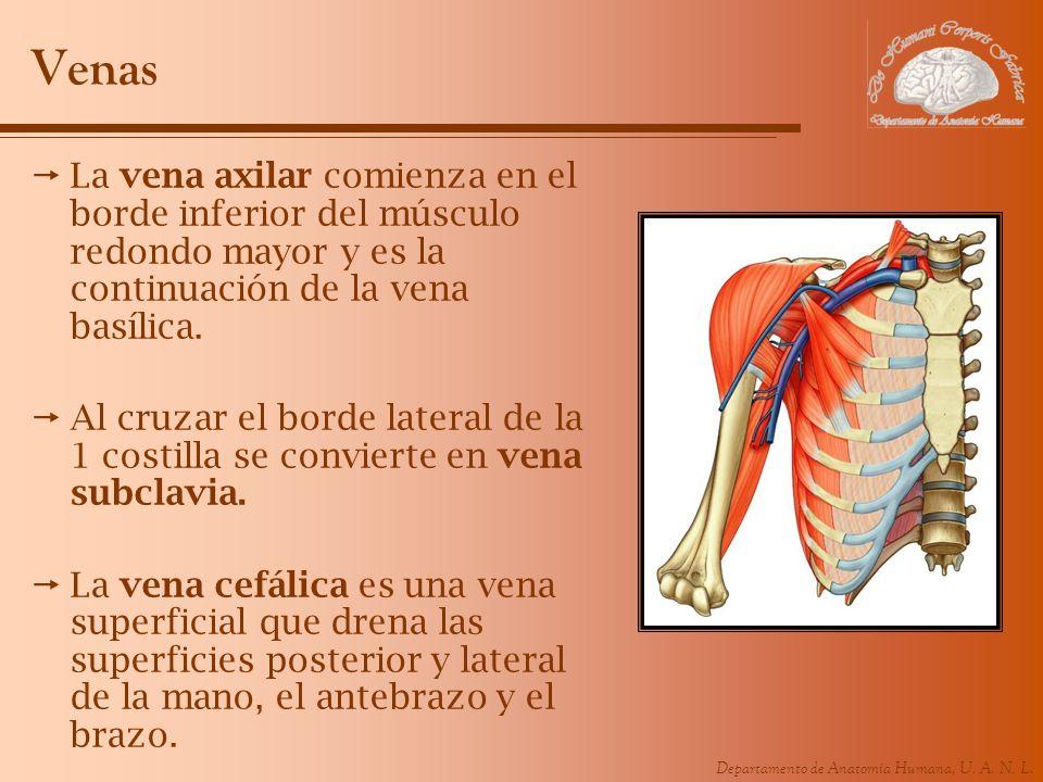 Departamento de Anatomía Humana, U. A. N. L. Venas La vena axilar comienza en el borde inferior del músculo redondo mayor y es la continuación de la v