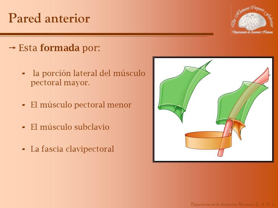 Departamento de Anatomía Humana, U. A. N. L. Pared anterior Esta formada por: - la porción lateral del músculo pectoral mayor. - El músculo pectoral m