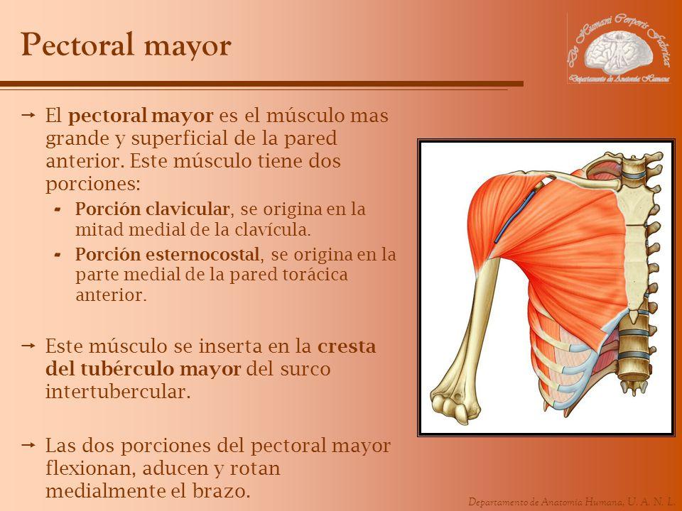 Departamento de Anatomía Humana, U. A. N. L. Pectoral mayor El pectoral mayor es el músculo mas grande y superficial de la pared anterior. Este múscul