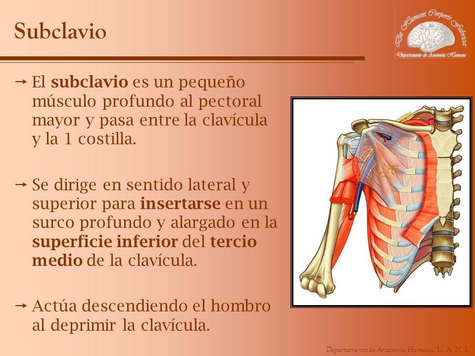 Departamento de Anatomía Humana, U. A. N. L. Subclavio El subclavio es un pequeño músculo profundo al pectoral mayor y pasa entre la clavícula y la 1