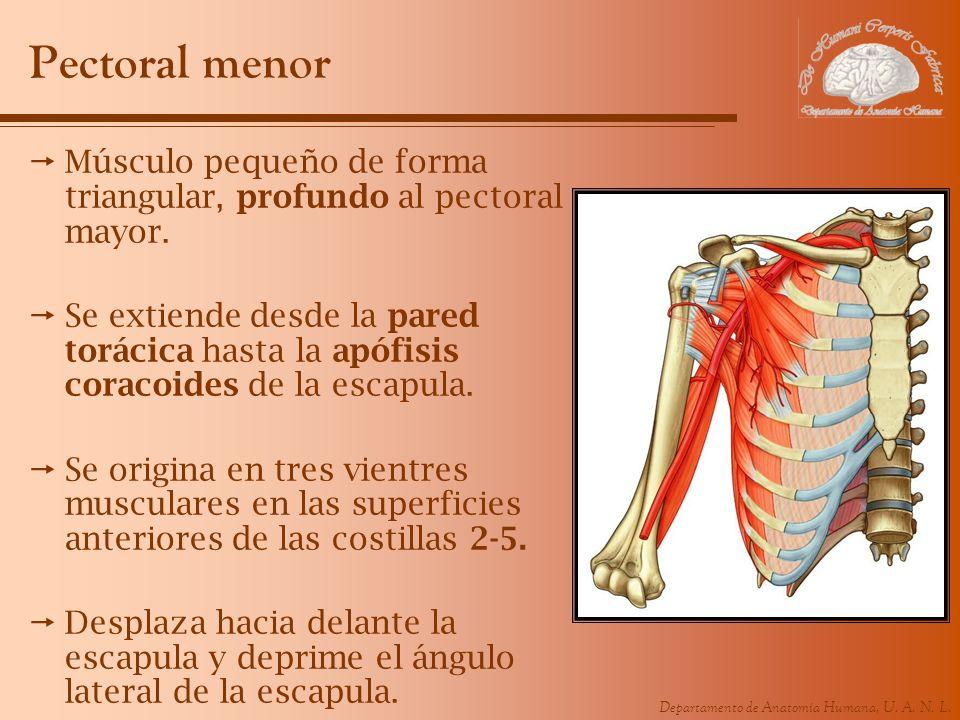 Departamento de Anatomía Humana, U. A. N. L. Pectoral menor Músculo pequeño de forma triangular, profundo al pectoral mayor. Se extiende desde la pare