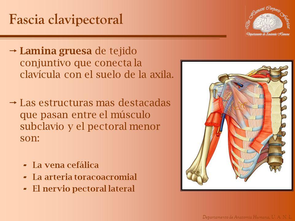 Departamento de Anatomía Humana, U. A. N. L. Fascia clavipectoral Lamina gruesa de tejido conjuntivo que conecta la clavícula con el suelo de la axila
