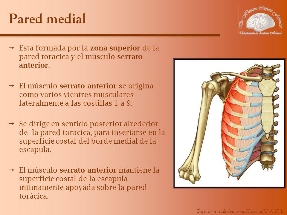 Departamento de Anatomía Humana, U. A. N. L. Pared medial Esta formada por la zona superior de la pared torácica y el músculo serrato anterior. El mús