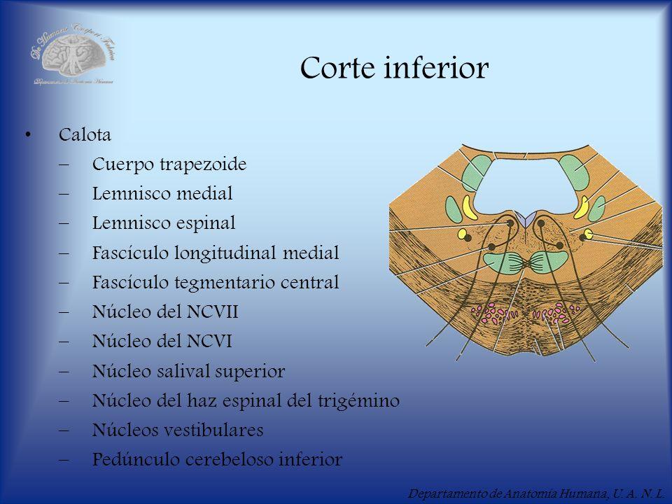 Departamento de Anatomía Humana, U. A. N. L. Corte inferior Calota –Cuerpo trapezoide –Lemnisco medial –Lemnisco espinal –Fascículo longitudinal media