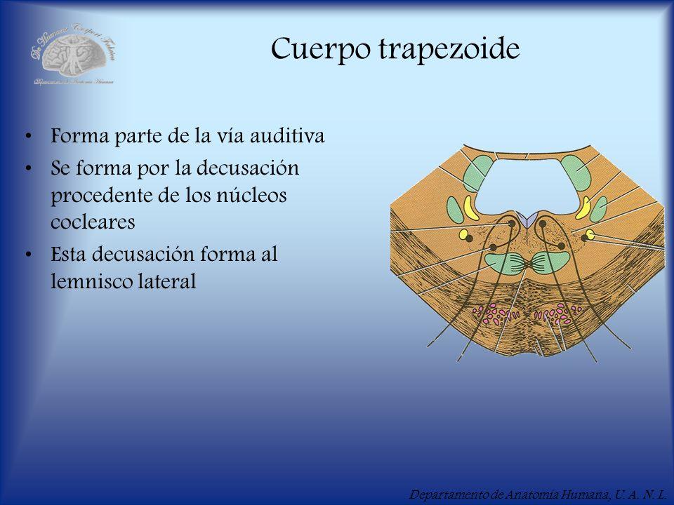 Departamento de Anatomía Humana, U. A. N. L. Cuerpo trapezoide Forma parte de la vía auditiva Se forma por la decusación procedente de los núcleos coc
