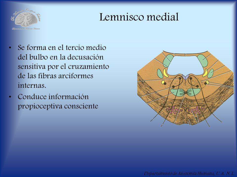 Departamento de Anatomía Humana, U. A. N. L. Lemnisco medial Se forma en el tercio medio del bulbo en la decusación sensitiva por el cruzamiento de la
