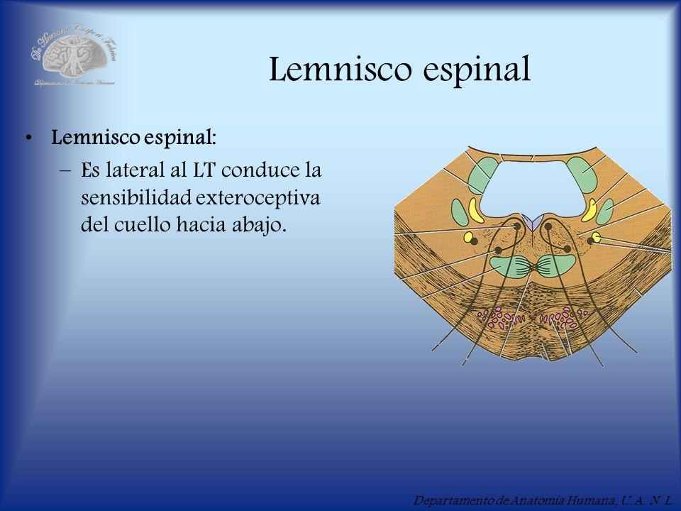 Departamento de Anatomía Humana, U. A. N. L. Lemnisco espinal Lemnisco espinal: –Es lateral al LT conduce la sensibilidad exteroceptiva del cuello hac