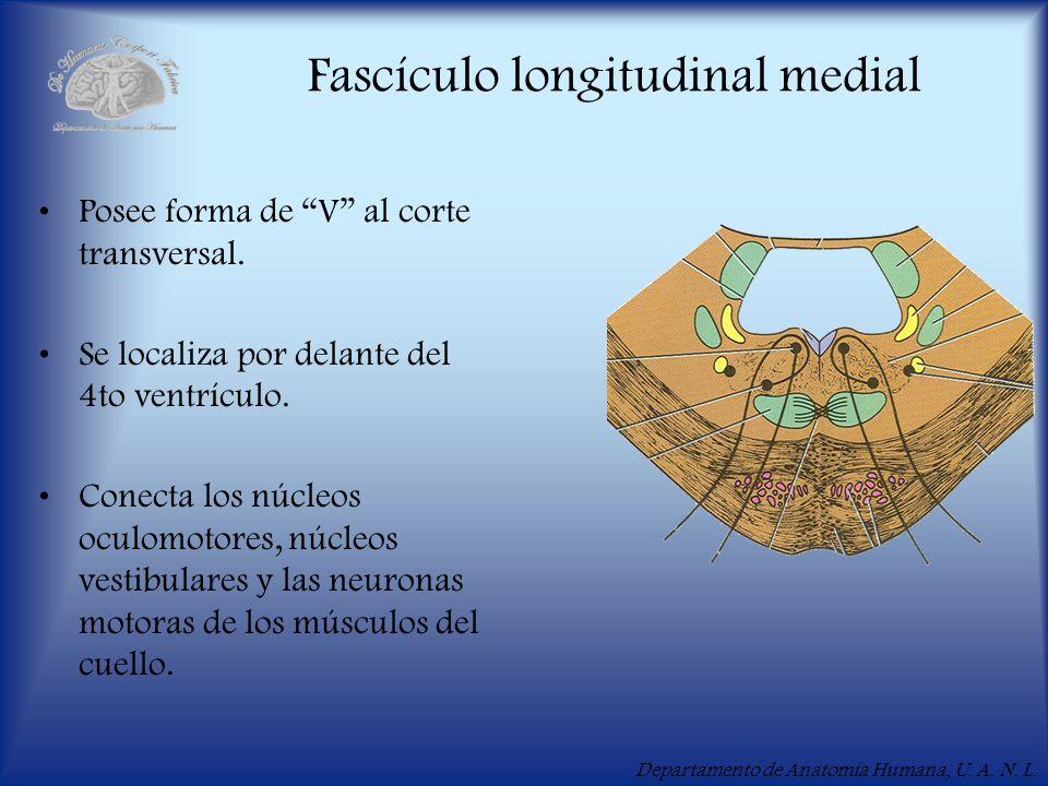 Departamento de Anatomía Humana, U. A. N. L. Fascículo longitudinal medial Posee forma de V al corte transversal. Se localiza por delante del 4to vent