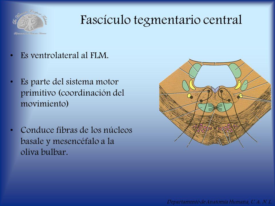 Departamento de Anatomía Humana, U. A. N. L. Fascículo tegmentario central Es ventrolateral al FLM. Es parte del sistema motor primitivo (coordinación