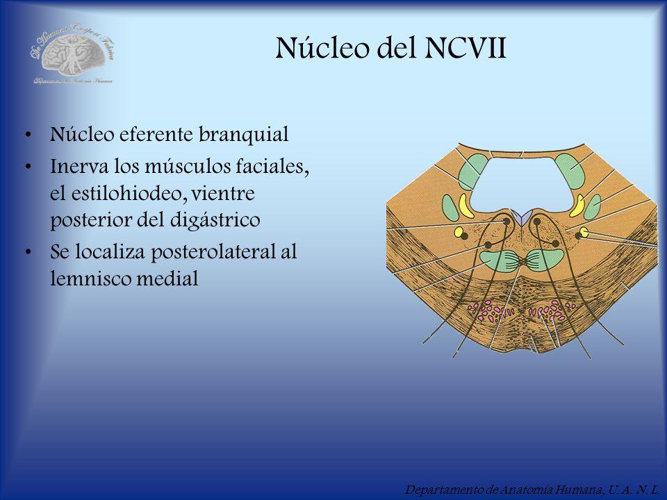 Departamento de Anatomía Humana, U. A. N. L. Núcleo del NCVII Núcleo eferente branquial Inerva los músculos faciales, el estilohiodeo, vientre posteri