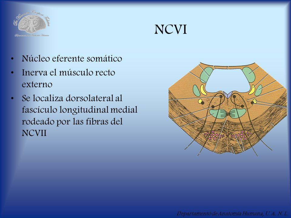 Departamento de Anatomía Humana, U. A. N. L. NCVI Núcleo eferente somático Inerva el músculo recto externo Se localiza dorsolateral al fascículo longi