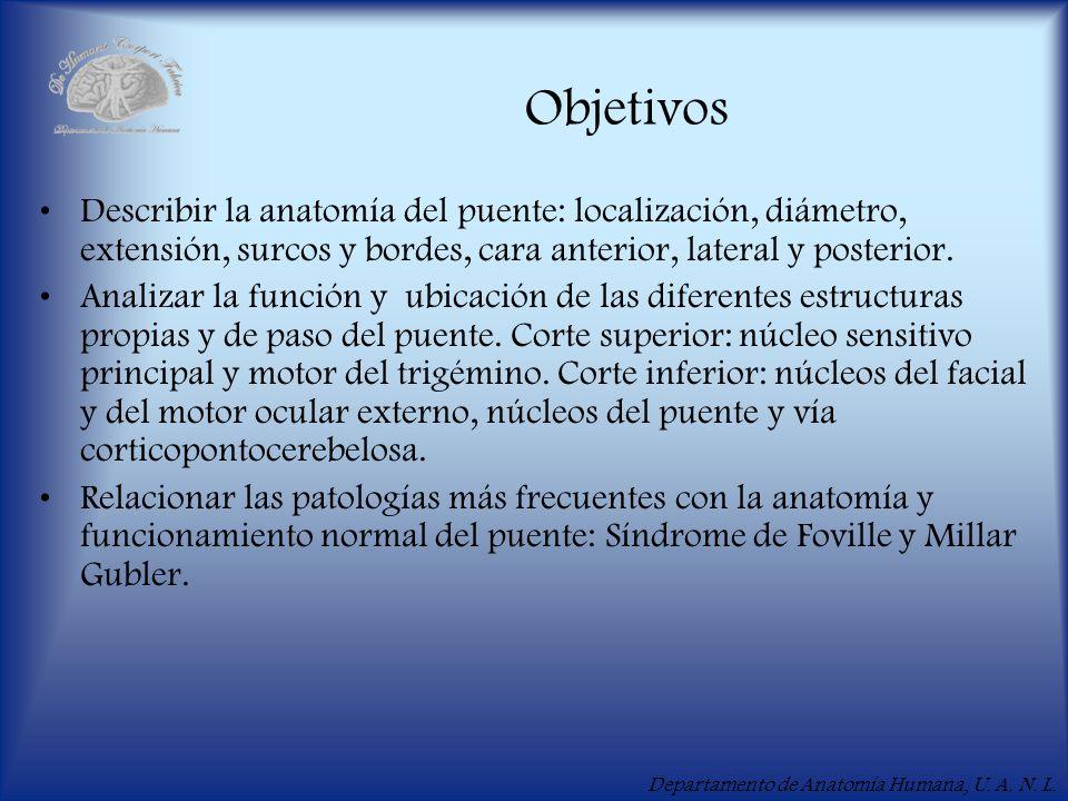 Departamento de Anatomía Humana, U. A. N. L. Objetivos Describir la anatomía del puente: localización, diámetro, extensión, surcos y bordes, cara ante