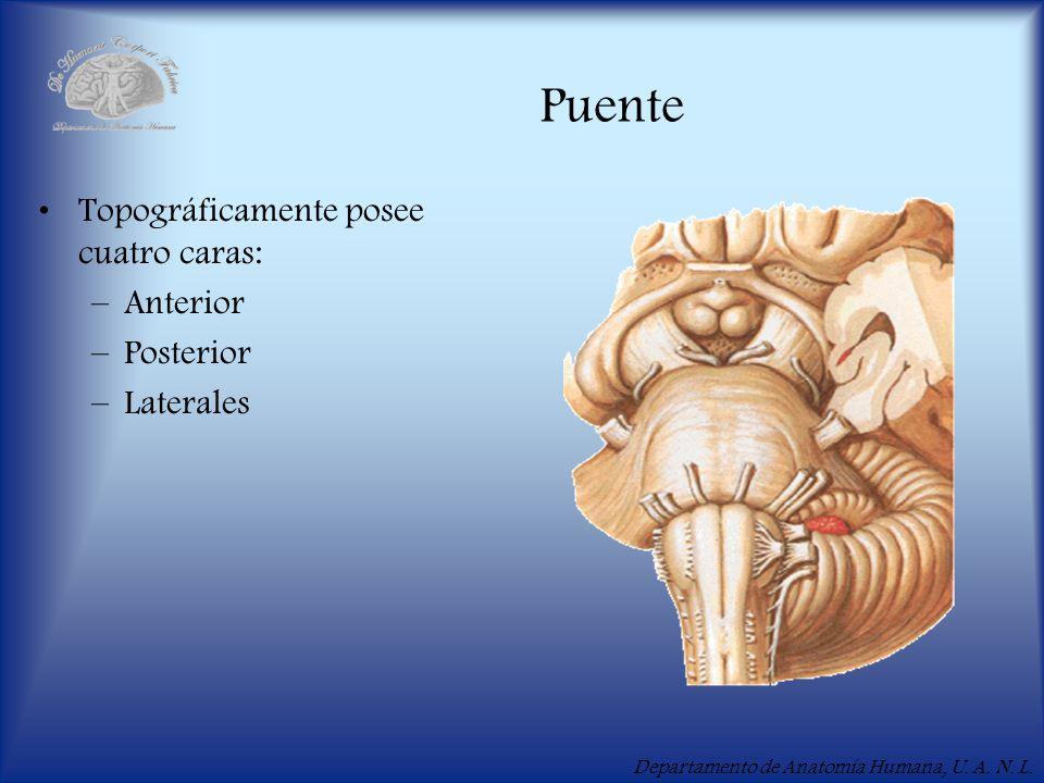 Departamento de Anatomía Humana, U. A. N. L. Puente Topográficamente posee cuatro caras: –Anterior –Posterior –Laterales