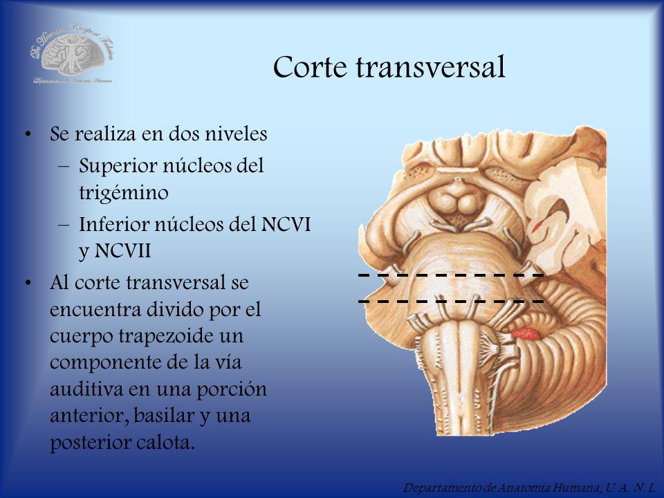 Departamento de Anatomía Humana, U. A. N. L. Corte transversal Se realiza en dos niveles –Superior núcleos del trigémino –Inferior núcleos del NCVI y