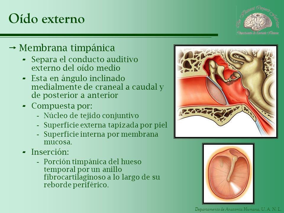 Departamento de Anatomía Humana, U. A. N. L. Oído externo Membrana timpánica - Separa el conducto auditivo externo del oído medio - Esta en ángulo inc