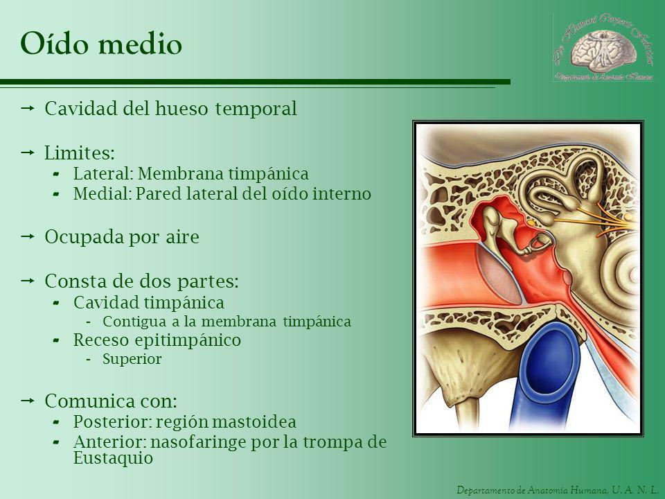 Departamento de Anatomía Humana, U. A. N. L. Oído medio Cavidad del hueso temporal Limites: - Lateral: Membrana timpánica - Medial: Pared lateral del