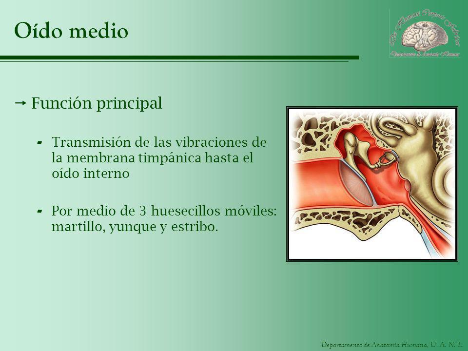Departamento de Anatomía Humana, U. A. N. L. Oído medio Función principal - Transmisión de las vibraciones de la membrana timpánica hasta el oído inte