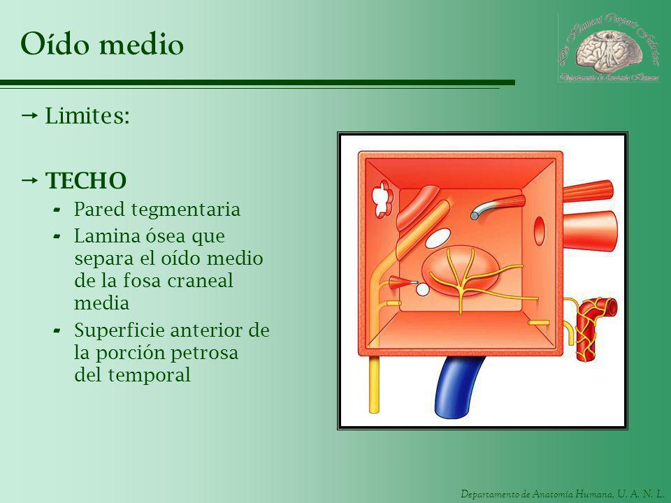 Departamento de Anatomía Humana, U. A. N. L. Oído medio Limites: TECHO - Pared tegmentaria - Lamina ósea que separa el oído medio de la fosa craneal m