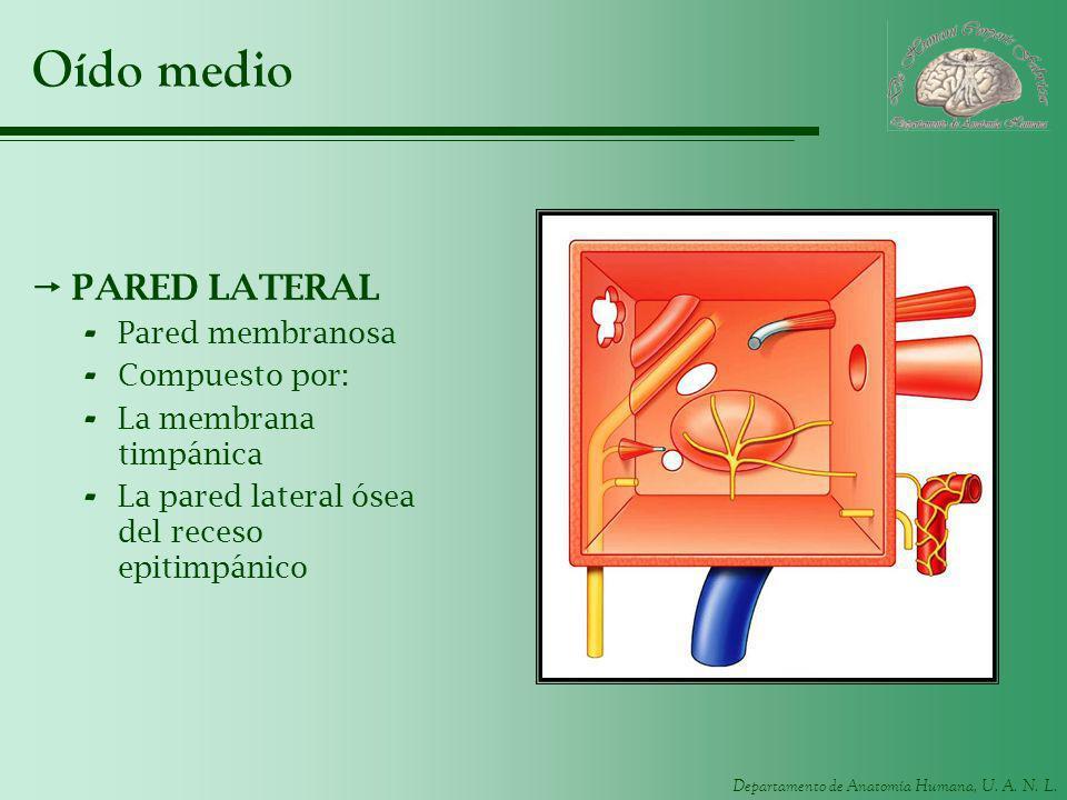 Departamento de Anatomía Humana, U. A. N. L. Oído medio PARED LATERAL - Pared membranosa - Compuesto por: - La membrana timpánica - La pared lateral ó
