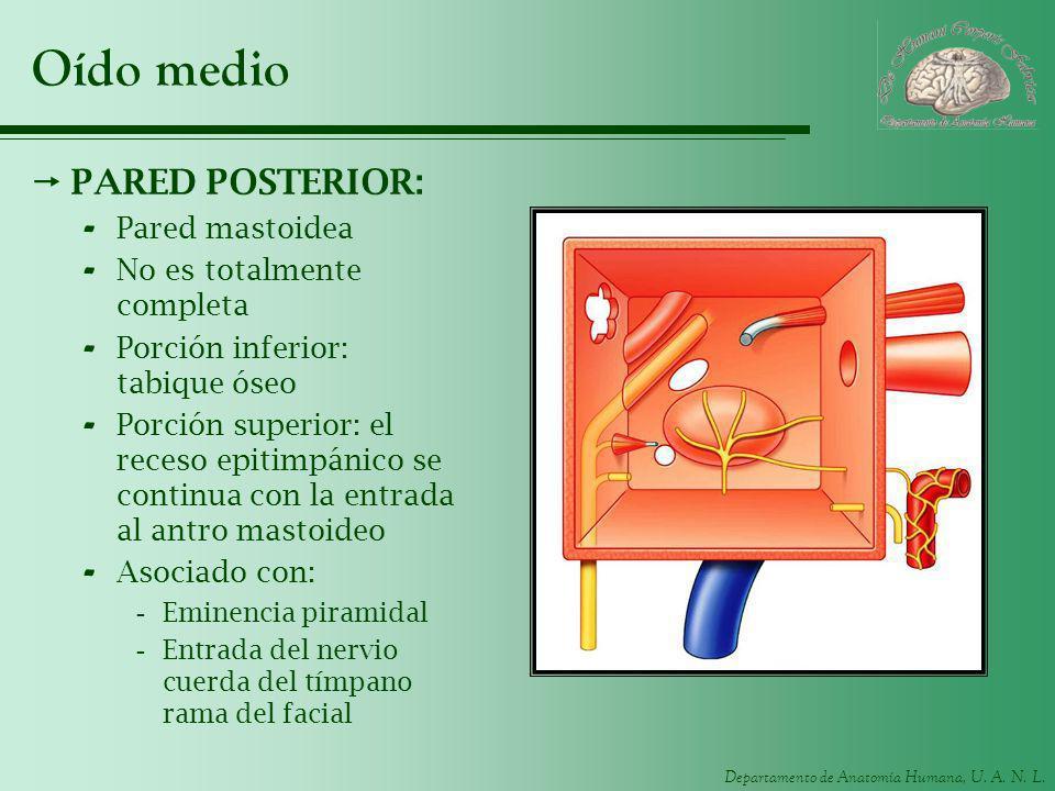 Departamento de Anatomía Humana, U. A. N. L. Oído medio PARED POSTERIOR: - Pared mastoidea - No es totalmente completa - Porción inferior: tabique óse