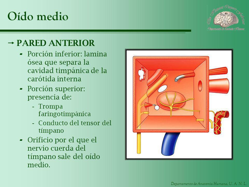 Departamento de Anatomía Humana, U. A. N. L. Oído medio PARED ANTERIOR - Porción inferior: lamina ósea que separa la cavidad timpánica de la carótida