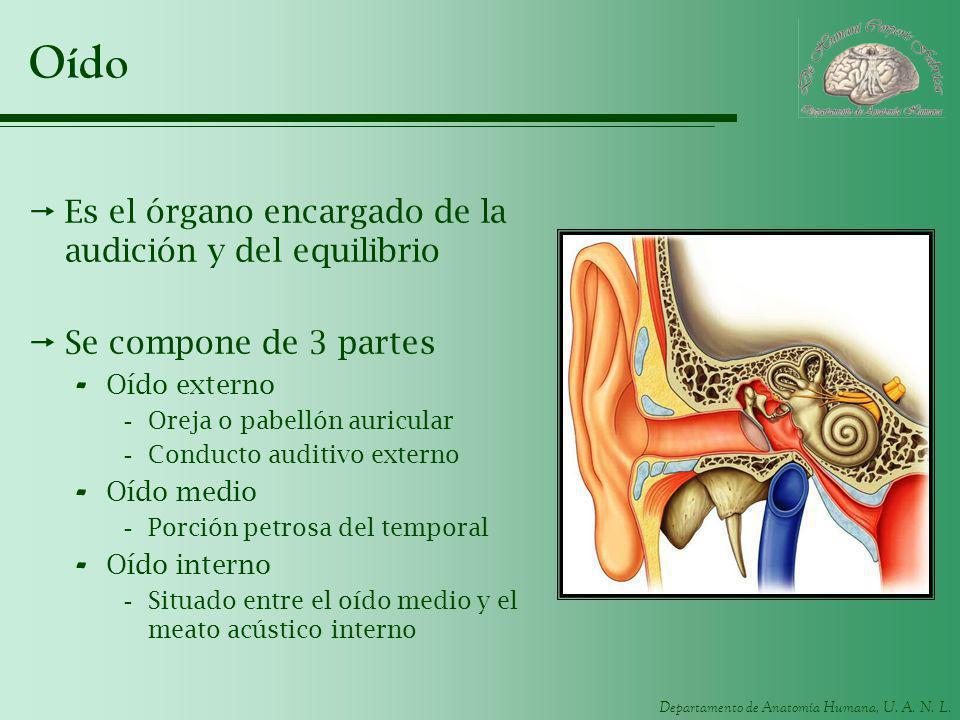 Departamento de Anatomía Humana, U. A. N. L. Oído Es el órgano encargado de la audición y del equilibrio Se compone de 3 partes - Oído externo -Oreja