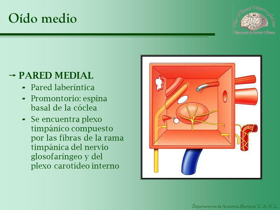 Departamento de Anatomía Humana, U. A. N. L. Oído medio PARED MEDIAL - Pared laberíntica - Promontorio: espina basal de la cóclea - Se encuentra plexo