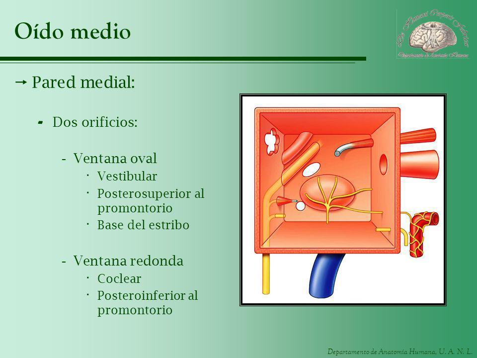 Departamento de Anatomía Humana, U. A. N. L. Oído medio Pared medial: - Dos orificios: -Ventana oval · Vestibular · Posterosuperior al promontorio · B